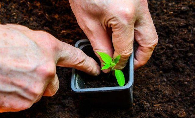 Ямал: описание сорта томата, характеристики помидоров, выращивание