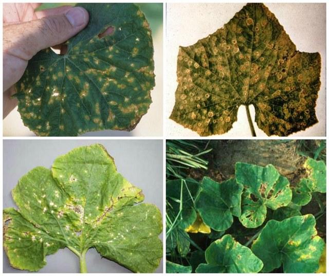 Скручиваются листья вовнутрь у огурцов: почему желтеют и что делать