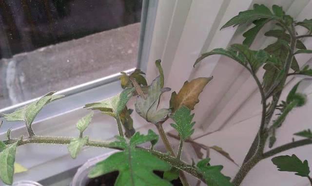 Почему желтеют листья у помидор в теплице, что делать с пожелтевшей рассадой