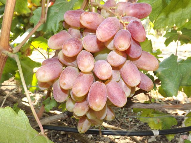 Описание сорта винограда Юлиан, происхождение, основные характеристики