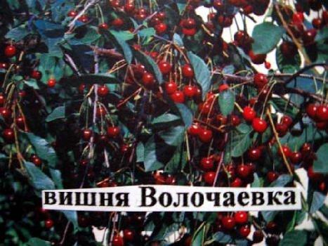 О сортах вишни для Нижегородской области: описание и характеристики
