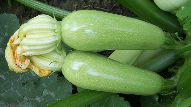 Все о сорте кабачка Арал: описание, посадка и уход, агротехника выращивания