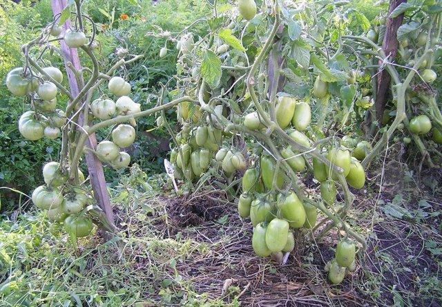 Каспар: описание сорта томата, характеристики помидоров, посев