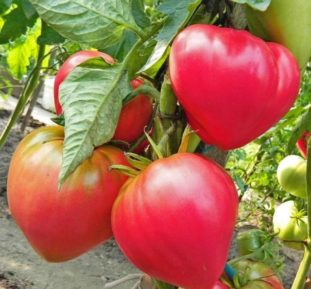 Все о розовых сортах томата: крупные виды, характеристики и описание
