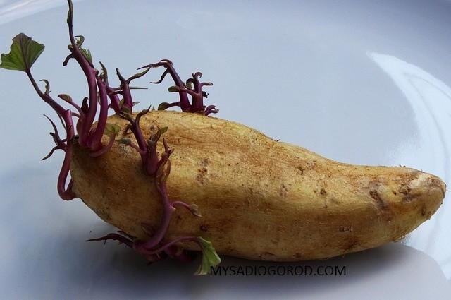 Картофель: посадка и уход в открытом грунте, что нужно знать, правила