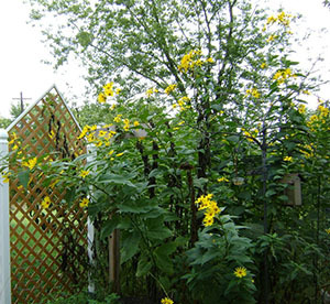 Как сажать топинамбур в открытый грунт, как выращивать, ухаживать