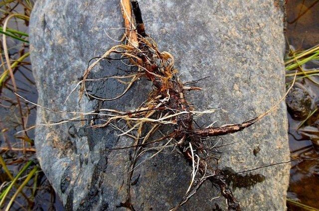 Все о чабере: что за растение, как выглядит, область применения