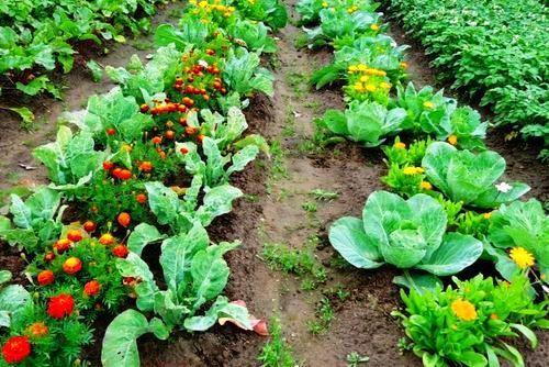 Репа: выращивание и уход в открытом грунте, посадка семенами весной