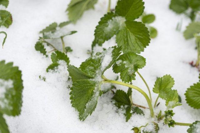 Какую температуру выдерживает цветущая клубника и как уберечь ее от заморозков