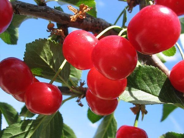 Об обыкновенной вишне Фея: описание и характеристики сорта, уход и выращивание