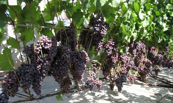 Описание сорта винограда Агат Донской: характеристики, особенности культуры