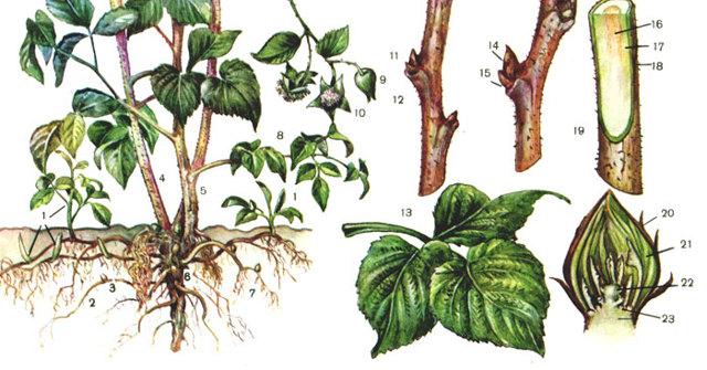 Какая почва нужна для малины: место, где ягода будет хорошо расти