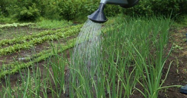 Все о сорте лука Стригуновский: посадка и уход, особенности выращивания