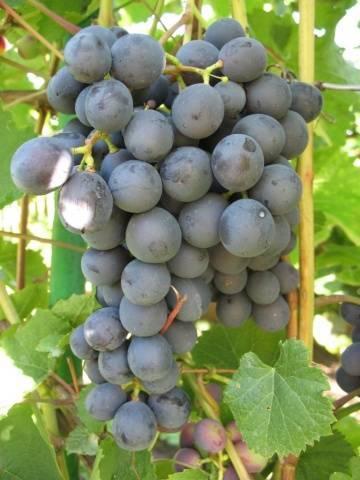 Описание сорта винограда Амурский (Уссурийский), посадка и уход в Сибири