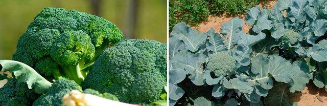 О капусте брокколи: описание и характеристика, правила выращивания, уход
