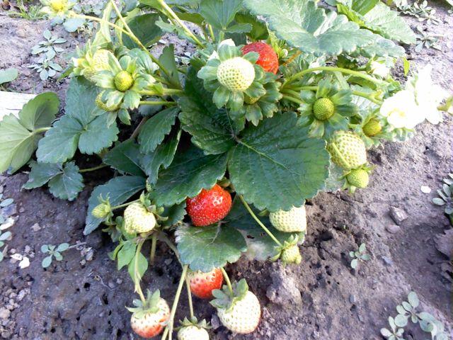 О сорте клубники Эви 2: описание, агротехника выращивания, как ухаживать