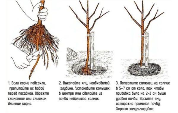 О яблоне Аксена, характеристики, агротехника, как правильно сажать