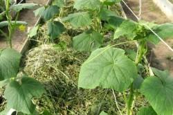 О том, чем замульчировать огурцы в теплице: опилки, солома, свежескошенная трава