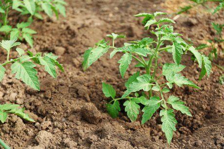 Помидоры, рассада: выращивание и уход от посадки до окончания сезона, агротехника
