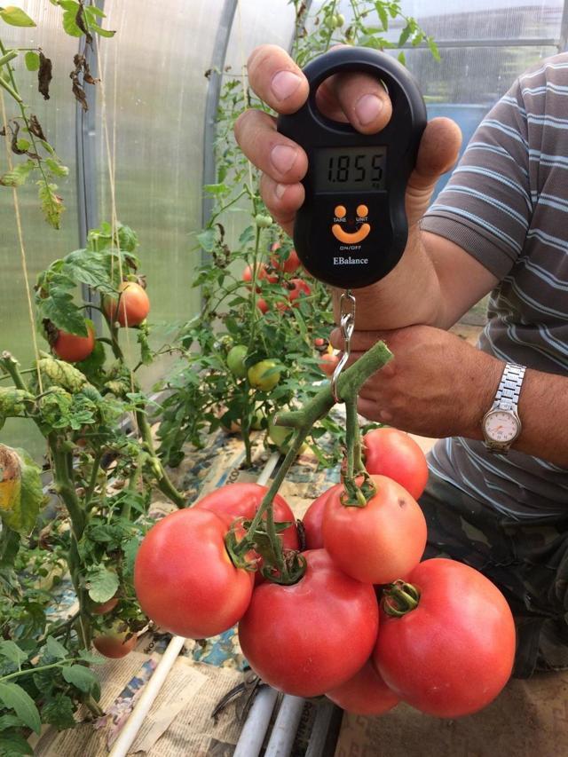 О томате Малинка: описание сорта, характеристики помидоров, агротехника