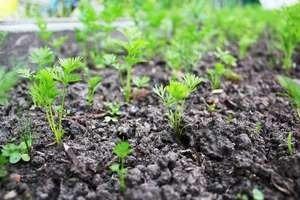Морковь в гранулах: посадка и уход в открытом грунте, как правильно сеять