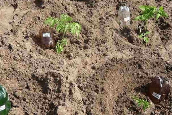 Расстояние при посадке томатов в теплице: схема посадки кустов помидор