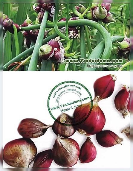 Все о посадке многоярусного лука: выращивание и уход за растением