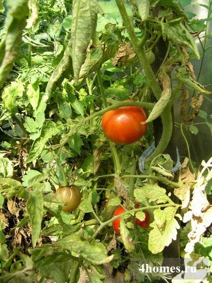 Высокорослые томаты: лучшие сорта для открытого грунта, как надо сажать и выращивать