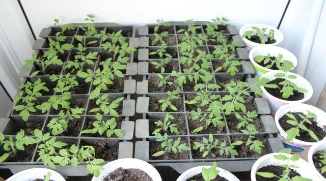 Как прорастить семена томатов на рассаду, как быстро прорастить помидоры
