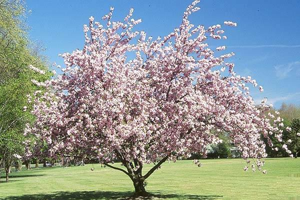О вишне Надежда: описание и характеристики сорта, уход и выращивание