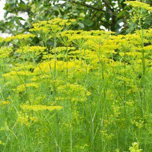 Все об укропе: какой сорт сеять для зелени, сорт без зонтиков