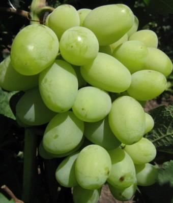 Описание винограда сорта Галахад: основные характеристики, первый урожай