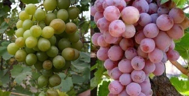 Описание сорта винограда Ризамат, актуальные преимущества и недостатки