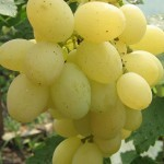 Описание сорта винограда Памяти Негруля, характеристики и рекомендации по уходу