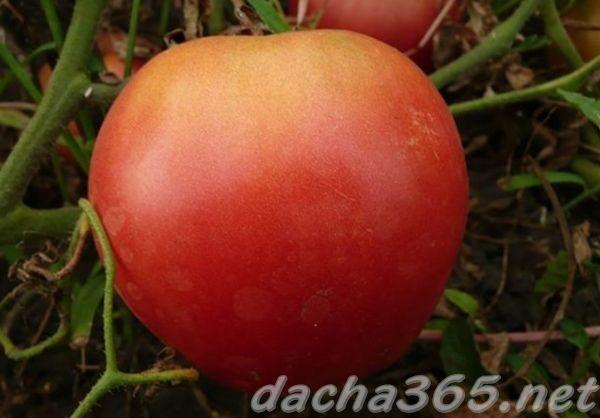 Сахарный пудовичок: описание сорта томата, характеристики помидоров