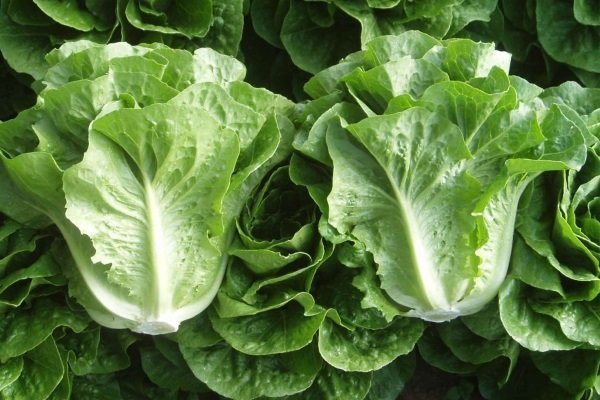 Все о выращивании лука Латук: как выглядит, посев и уход за растением