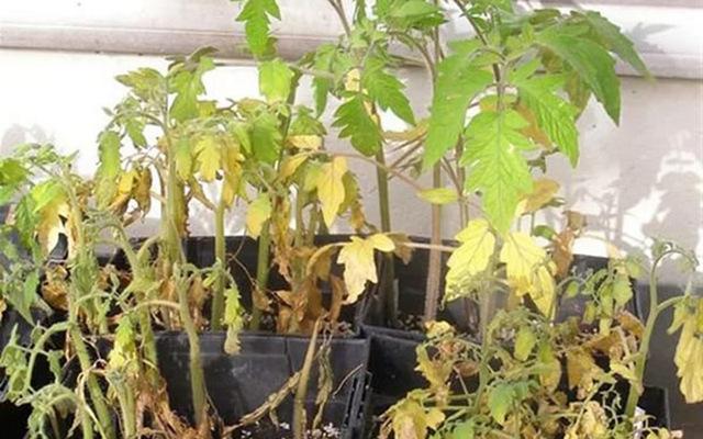 Рассада помидоров желтеет и сохнет, что делать, если у рассады тухнут кончики листьев