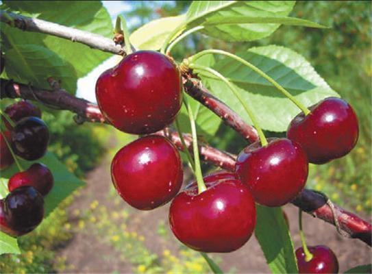 О вишне Звездочке: характеристика, описание сорта, выращивание и уход