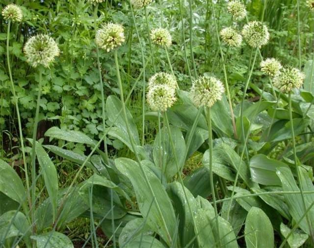 Как вырастить черемшу из семян: способы посадки и размножения на даче