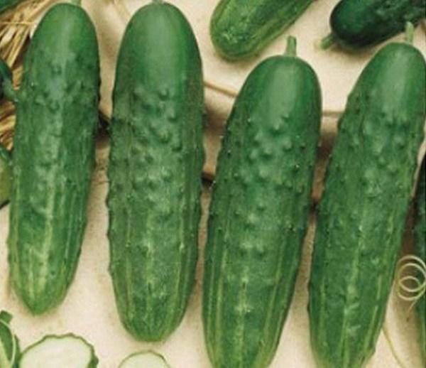 Все о сорте огурцов Санькина Любовь: агротехника выращивания и уход