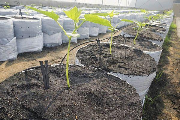 О правилах полива арбузов в открытом грунте: с какой частотой надо поливать