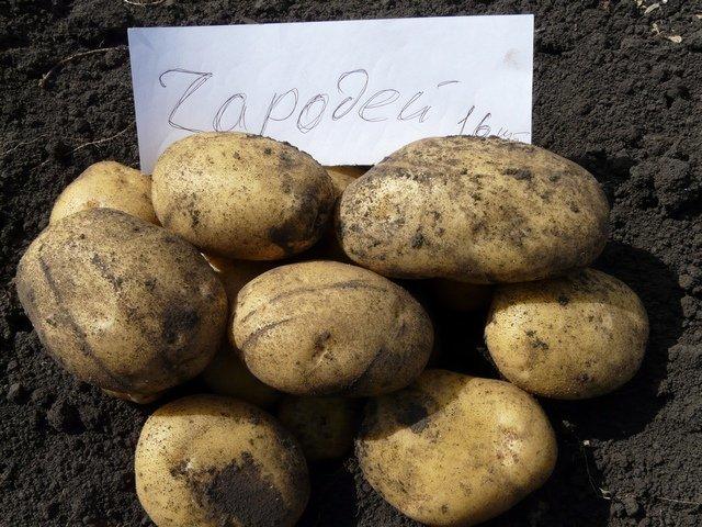 О картофеле Чародей: описание семенного сорта, характеристики, агротехника