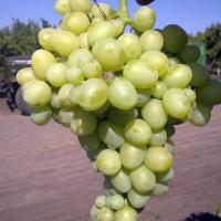 Описание сорта винограда Лора (Флора), характеристики, советы по обрезанию