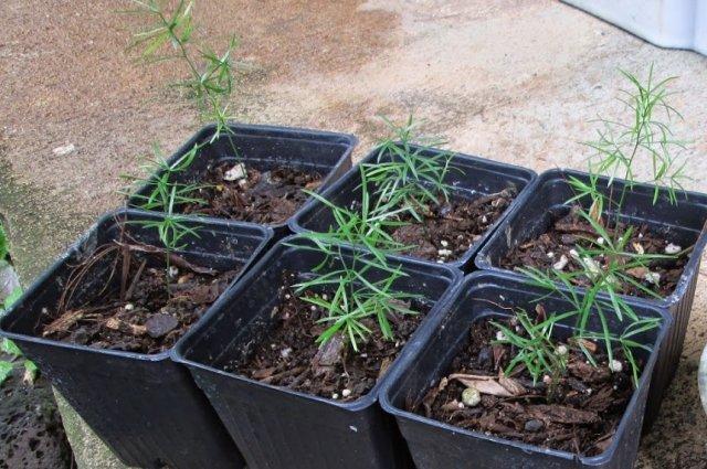 Все о спарже: как выглядит, лучшие сорта, как посадить и вырастить