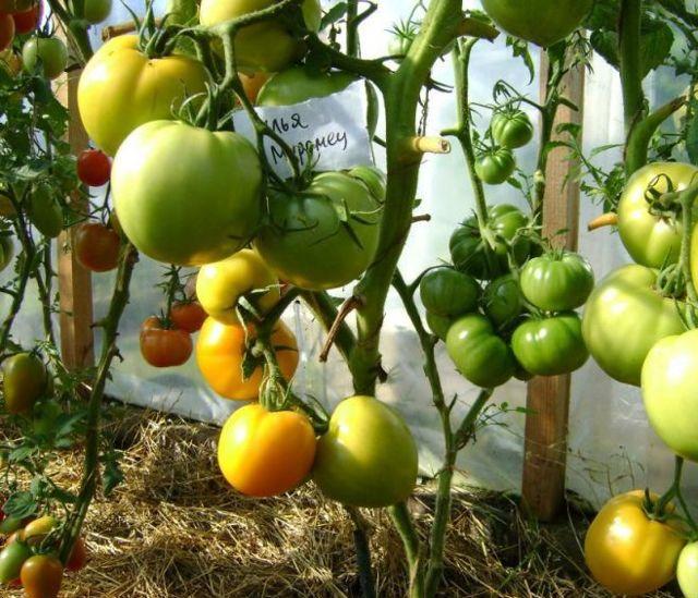 Илья Муромец: описание сорта томата, характеристики помидоров, посев