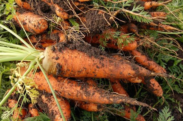 Как вырастить морковь в открытом грунте, правила выращивания на огороде