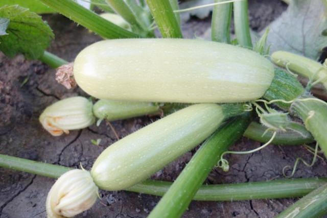 О сроках посадки кабачков и тыквы: когда благоприятное время высадки