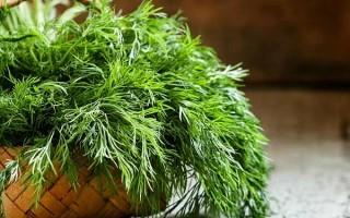 Все об укропе: что это, как выглядит, какие витамины есть в укропе