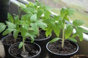 О томате Морозко: описание сорта, характеристики помидоров, посев