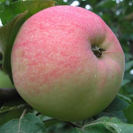 О яблоне Мельба: описание сорта, характеристики, агротехника, выращивание